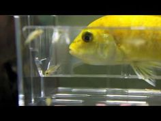 African Cichlid Fish Fry Release - YouTube