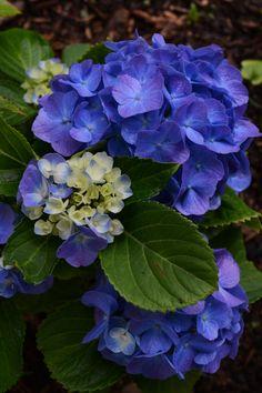 Flowers from my garden. Very Beautiful Flowers, Love Flowers, Purple Flowers, Hydrangea Garden, Hydrangea Flower, Peonies And Hydrangeas, Flower Aesthetic, Flower Farm, Planting Flowers