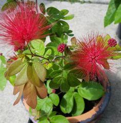 Calliandra emargniata - pink powder puff plant