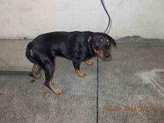 ROMEO (A1648082) I am a male black and brown Miniature Pinscher mix. The shelter staff think I am about 2 years old. I was found as a stray and I may be available for adoption on 10/04/2014. — hier: Miami Dade County Animal Services. https://www.facebook.com/urgentdogsofmiami/photos/pb.191859757515102.-2207520000.1412543000./847501955284209/?type=3&theater
