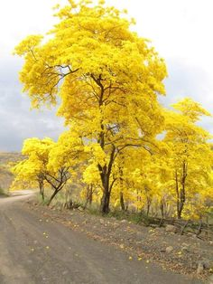 Araguaney ....... The National Tree of Venezuela, bursts forth  into blazing yellow to announce the rainy season is about to begin. Gorgeous!