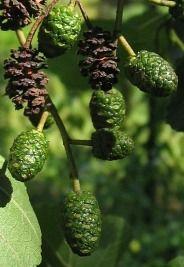 Szyszeczki olszy czarnej Fruit, Nature, Food, Naturaleza, Essen, Meals, Nature Illustration, Off Grid, Yemek