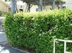 Image result for plants for narrow garden in front of high fence