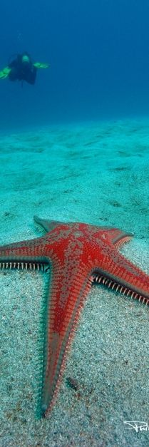 Sea Star. They're not fish; they're echinoderms (from the Greek for spiny skin), closely related to sea urchins. The five-arm varieties are the most common, but sea stars with 10, 20 and even 40 arms exist!