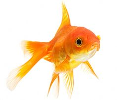 pictures of goldfish | Cold Water Fish