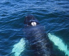Humpback Whale in the bay of Gibraltar Photo by Commander Graham Hesketh Dolphin Safari Captain.