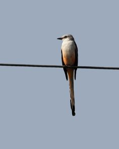 The Scissor-tailed Flycatcher breeds in the south central USA and northern Mexico. They winter in Mexico and Central America as far south as Panama. A small number of this species winter in South Florida. We spotted this one on the wires as we were leaving Dinner Island Ranch. My last sighting of this bird was on a fence wire in Oklahoma in April of 1973, so I was obviously very excited to see this one.   Taken on County Road 833 along the perimeter of Dinner Island Ranch, Wildlife…