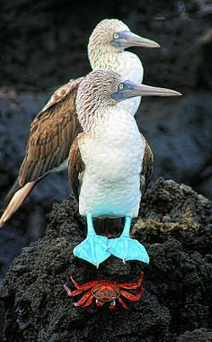 ~~Blue Footed Boobies and their crab friend | Galápagos Islands by Les Coombes~~