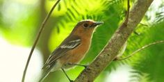The Tinian monarch lives on the S. Pacific island of Tinian & were almost wiped out during WWII. They need our help again! (30348 signatures on petition)