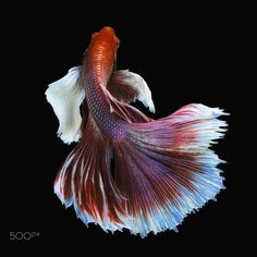 Big Ear Halfmoon White-Red Betta - Halfmoon Betta got White and Red color with…