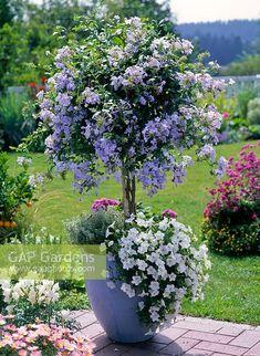 GAP Gardens - Plumbago standard in blue ...