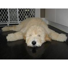 standard poodle, teddy bear clip my favorite cut Cute Puppies, Cute Dogs, Dogs And Puppies, Doggies, Labradoodles, Goldendoodles, Cockapoo, Animals And Pets, Cute Animals