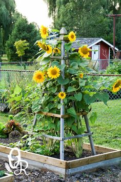 Oliver and Rust- Sunflowers  beautiful way to keep them upright and contained