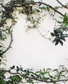 Climbing jasmine vines on white Venetian plaster.