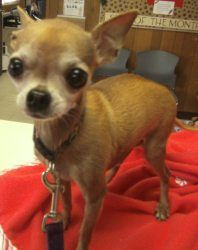 Cheech is an adoptable Chihuahua Dog in Lodi, CA. Cheech is just a little might, hemight tip the scales atabout 3 pounds. He is an applehead chihuahuaand at least 6 years old. Cheech has been here...