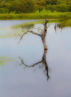 Lost tree - tree in water