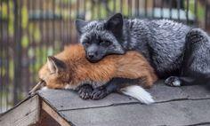 Ka Foxes