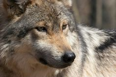 Mexican gray wolf (lobo) at Endangered Wolf Center, photo credit theirs.