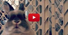 I have never seen a bunny with so much energy before! Set to the amazing sounds of Queen, this Netherland Dwarf bunny goes on a rampage throughout his house, tearing through the hallways, doing tricks on the bed and even busting out some kind of strange dance moves. It's so adorable, and awesome to see... View Article