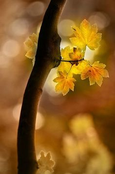 'Golden Bokeh' via theresa.canalblog #Photography #Bokeh #Golden_Leaves