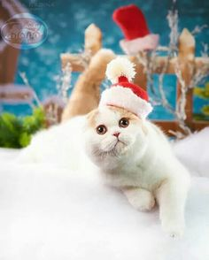 Christmas Kitten, Animals, Animales, Animaux, Animais, Animal
