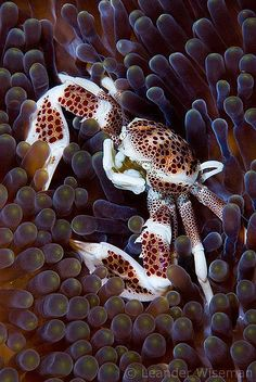 Porcelain Crab / Layang Layang, Malaysia, Borneo... this is a much more interesting animal print than cheetah.