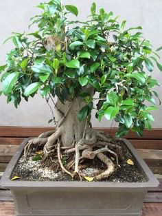 1000 images about bonsai beauty on pinterest for Most expensive bonsai tree ever