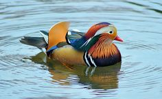 The Mandarin Duck (Aix galericulata), or just Mandarin, is a medium-sized, East Asian perching duck, closely related to the North American Wood Duck. It is 41–49 cm long with a 65–75 cm wingspan. Its most recognizable feature is its brilliant coloring.