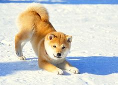Who's a frisky dog? You's a frisky Shiba Inu. Cute Puppies, Cute Dogs, Baby Animals, Cute Animals, Japanese Dogs, Animal Quotes, Shiba Inu, Dog Photos, Beautiful Dogs