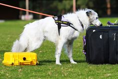 K9 Scent Scramble: a new ballgame for Dogs! | Australian Dog Lover - K9 Nose Work® is also a timed competition where the dogs are judged on their speed and accuracy in detecting and alerting their handler to specific odours hidden in four different elements.
