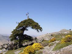 Pinsapo en la Sierra de las Nieves (Málaga) Bonsai Art, Old Trees, Firs, Wipe Out, Tree Forest, Sierra, Growing Tree, Flora And Fauna, Forests