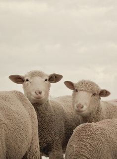 sheep~I'd swear they are smiling for the camera!~SRG