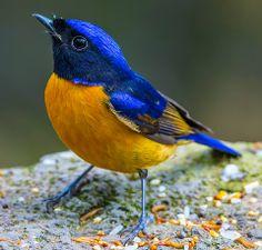 Orange-bellied Niltava (Male), photo by Shund Lee