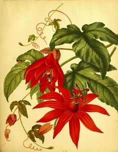 Crimson Passion Flower. Passiflora vitifolia. The garden. An illustrated weekly journal of horticulture in all its branches [ed. William Robinson], vol. 17- (1880)