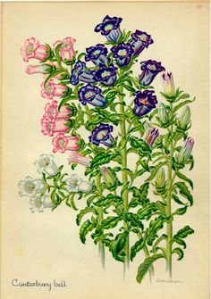Canterbury Bells - 'Acknowledgement' in the Victorian Language of Flowers.