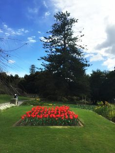 Botanical Gardens Tulips ~ article and photo for think-tasmania.com ~ #Hobart #Tasmania #tulips #gardens #flowers
