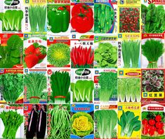 CHIVES /'New Belt/' 600 seeds Chinese variety Asian vegetable garden nira grass