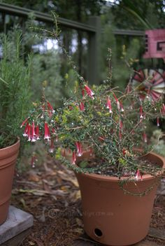 Natives for Pots and Containers by Mallee Design