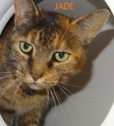 ADOPTED! Tag# 11663 Name is Jade Tabby Female-spayed Gorgeous colors!   Located at 2396 W Genesee Street, Lapeer, Mi. For more information please call 810-667-0236. Adoption hrs M-F 9:30-12:00 & 12:30-4:15, Weds 9:30-12:00 & Sat 9:00-2:00     https://www.facebook.com/267166810020812/photos/a.893936650677155.1073742191.267166810020812/893937720677048/?type=3&theater