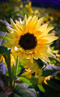 A Touch Of Sunflower Photograph