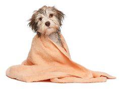 <p>Por Dra. Christiane Diezel A partir de quantos meses de vida posso dar banho no cachorro em casa? Miriam da Silva, São Paulo (SP) Você pode dar banho no seu cão desde bem cedo. Na verdade, água e xampu não…</p>