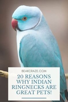 Are indian ringnecks good pets? Here are 20 reasons why Indian Ringnec… Are indian ringnecks good pets? Here are 20 reasons why Indian Ringnecks are incredible pets to have! Exotic Birds, Exotic Pets, Colorful Birds, Ring Necked Parakeet, Parakeet Care, Bird Barn, Barn Owls, Chesire Cat, Parrot Pet