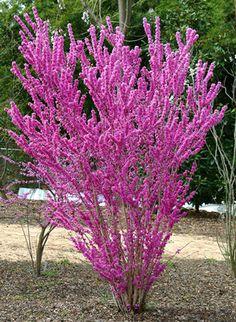 Cercis chinensis spring flowering shrub