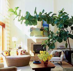 1000 Images About Fiddle Leaf Fig On Pinterest Fiddle