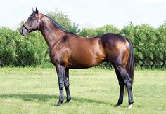 Bold Legacy (USA) 2000 B.h. (Seattle Slew (USA)-Cara Rafaela (USA) by Quiet American (USA) Stands at Rancho Natoches, Mexico.