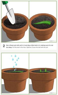 How to Grow an Aloe Plant With Just an Aloe Leaf. Growing Aloe Vera is easy. Planting it is a little trickier. Unlike other succulents and cacti, it is difficult to grow Aloe Vera from just a leaf. The chances of the leaf actually taking. Succulents Garden, Garden Plants, Indoor Plants, Planting Flowers, Terrace Garden, Garden Benches, Fruit Garden, Aloe Vera Plant Indoor, Potted Plants