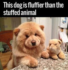 These adorably chubby puppies below look exactly like Teddy Bears, which may make you think the bears and dogs are pretty much the same things. Chubby Puppies, Cute Puppies, Cute Dogs, Dogs And Puppies, Doggies, Cute Funny Animals, Cute Baby Animals, Funny Dogs, Animals And Pets