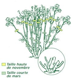 Taille des rosiers : savoir tailler - jardinerie Truffaut conseils Rosiers Truffaut