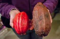 The red pod on the left is ripe cocoa fruit. I got to taste it this week at Palo Alto's Chocolate Garage, an essential stop for people who love high quality + responsibly harvested bean-to-bar chocolate.