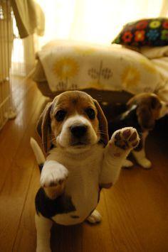 Beagle smack down!
